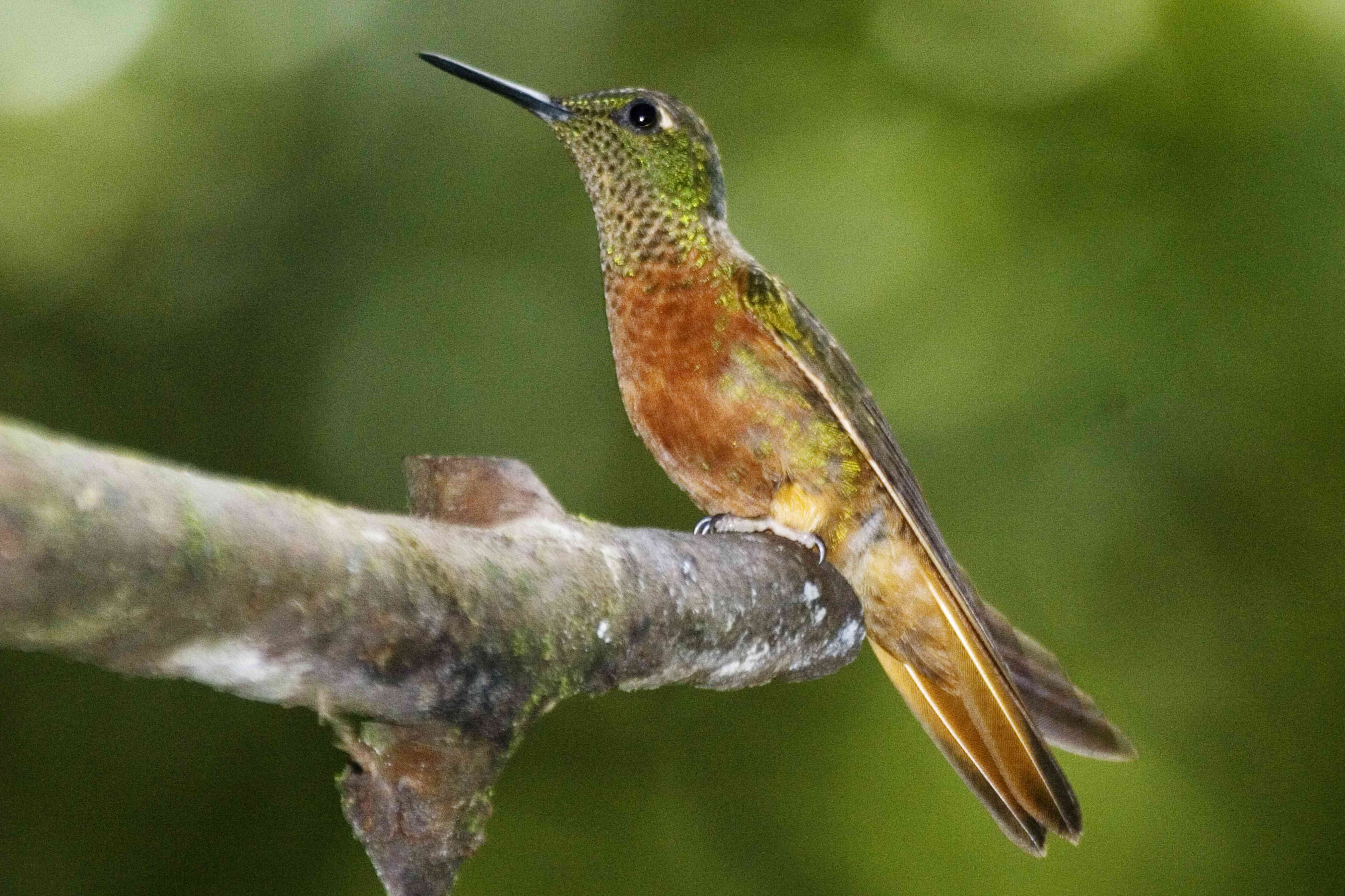 Chestnut-breasted coronet perched on a branch