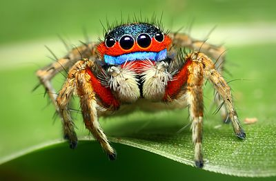 A closeup of a jumping spider showing the hairs on its head and legs and blue stripe under its eyes