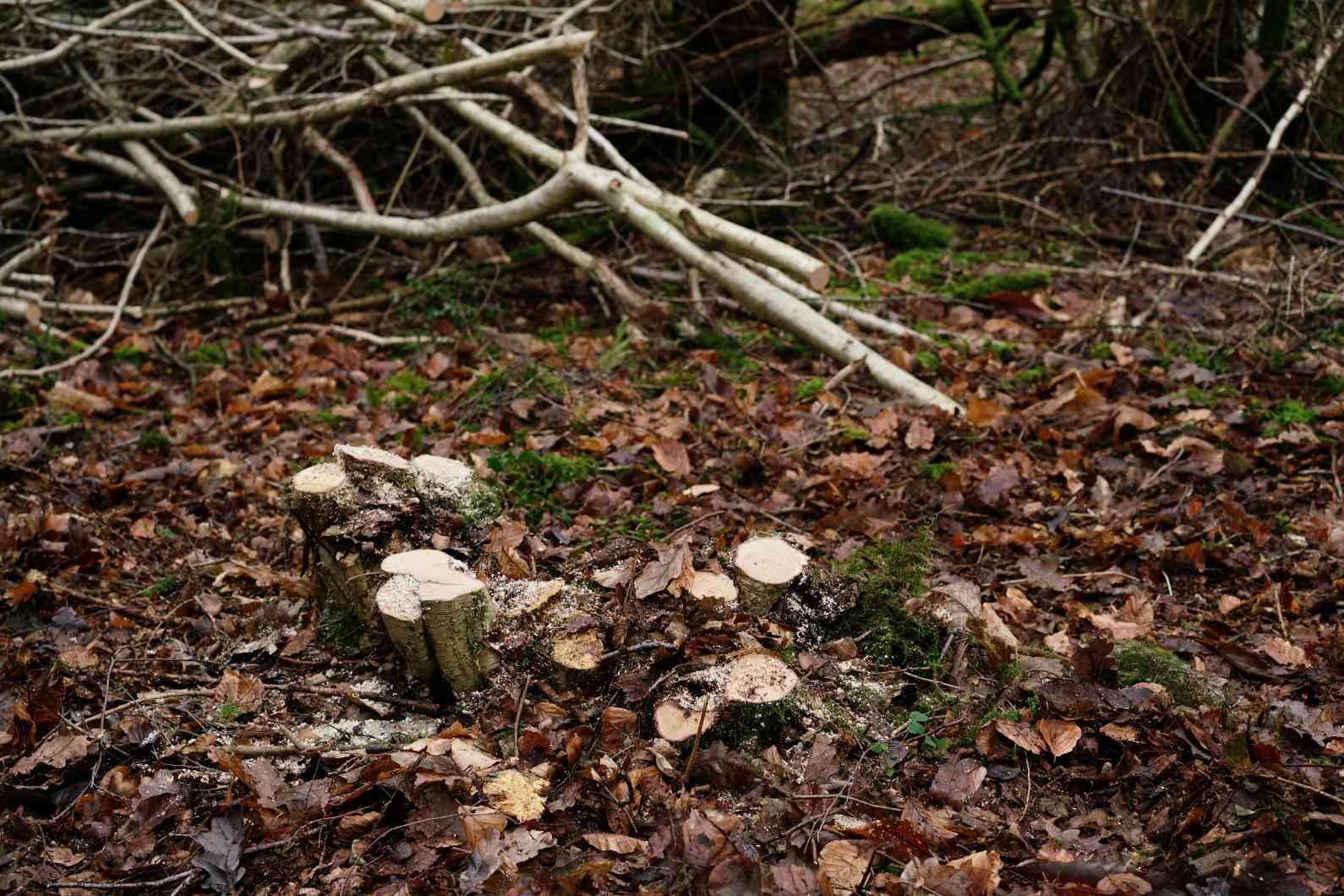 Hazel tree stumps.