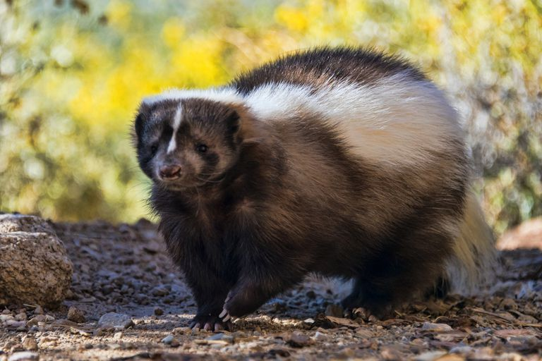 Striped skunk walking during the day