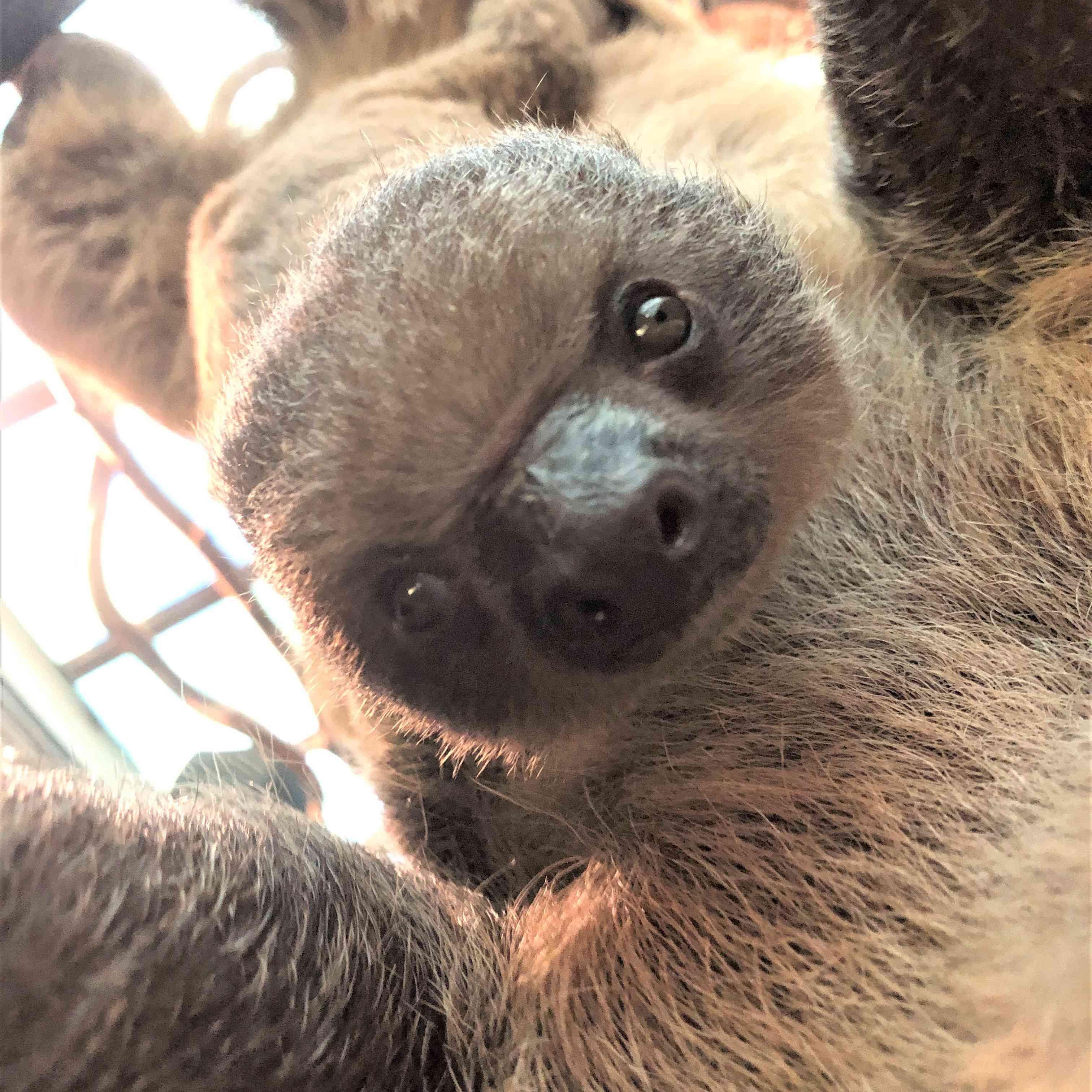 Truffle the baby sloth