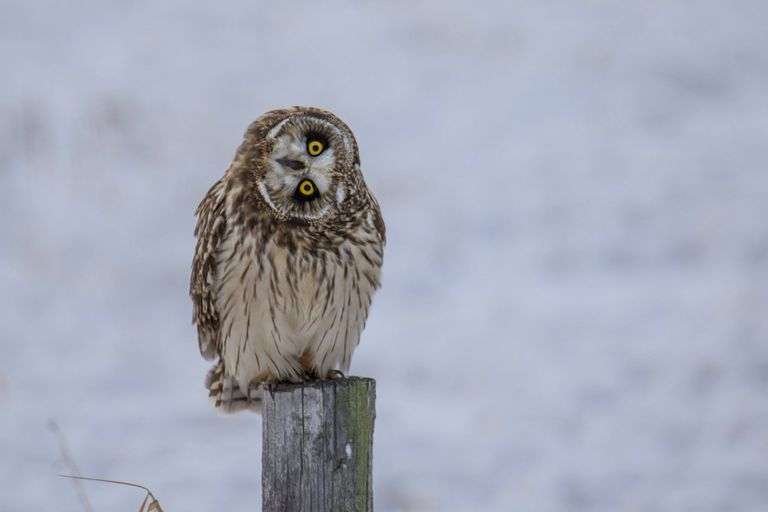 Owl sitting on a fence post with head turned sideways