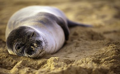 Monk seal lying in the sand