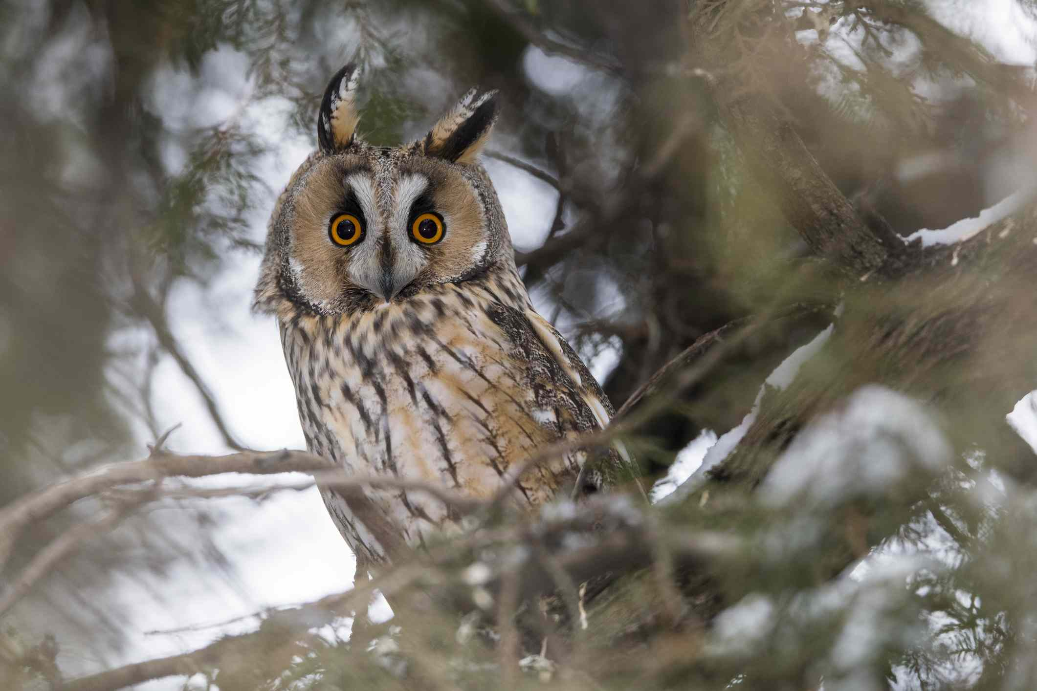 long-eared owl viewed through tree branches with ears slightly askew