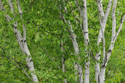 White birch, Betula papyrifera
