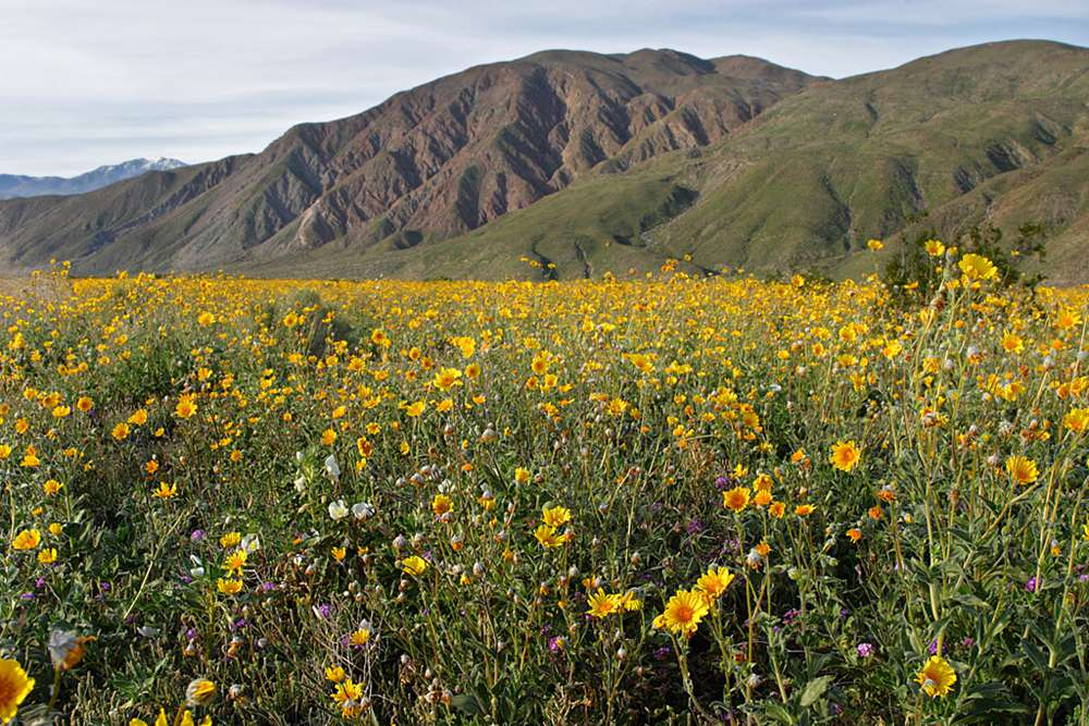 Flowers blooming around in Henderson Canyon near Borrego Springs in 2005