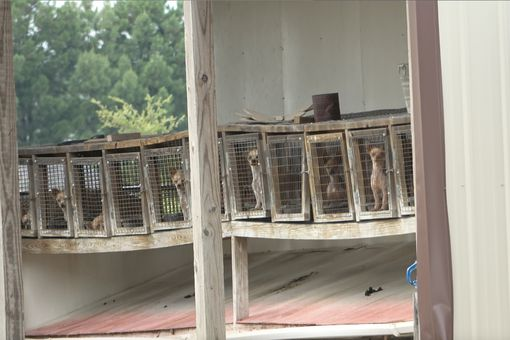 Caged breeding dogs at puppy mill in Pocahontas, Arkansas