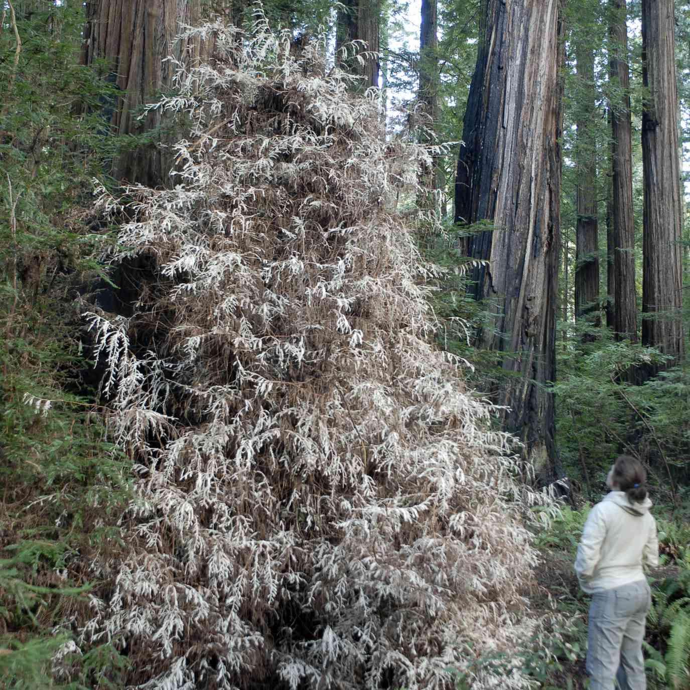 Ghost redwoods