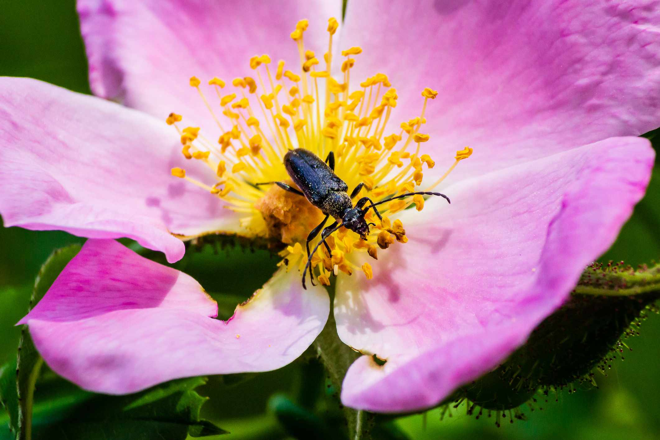 Longhorned beetle on the yellow pistil of a pink flower
