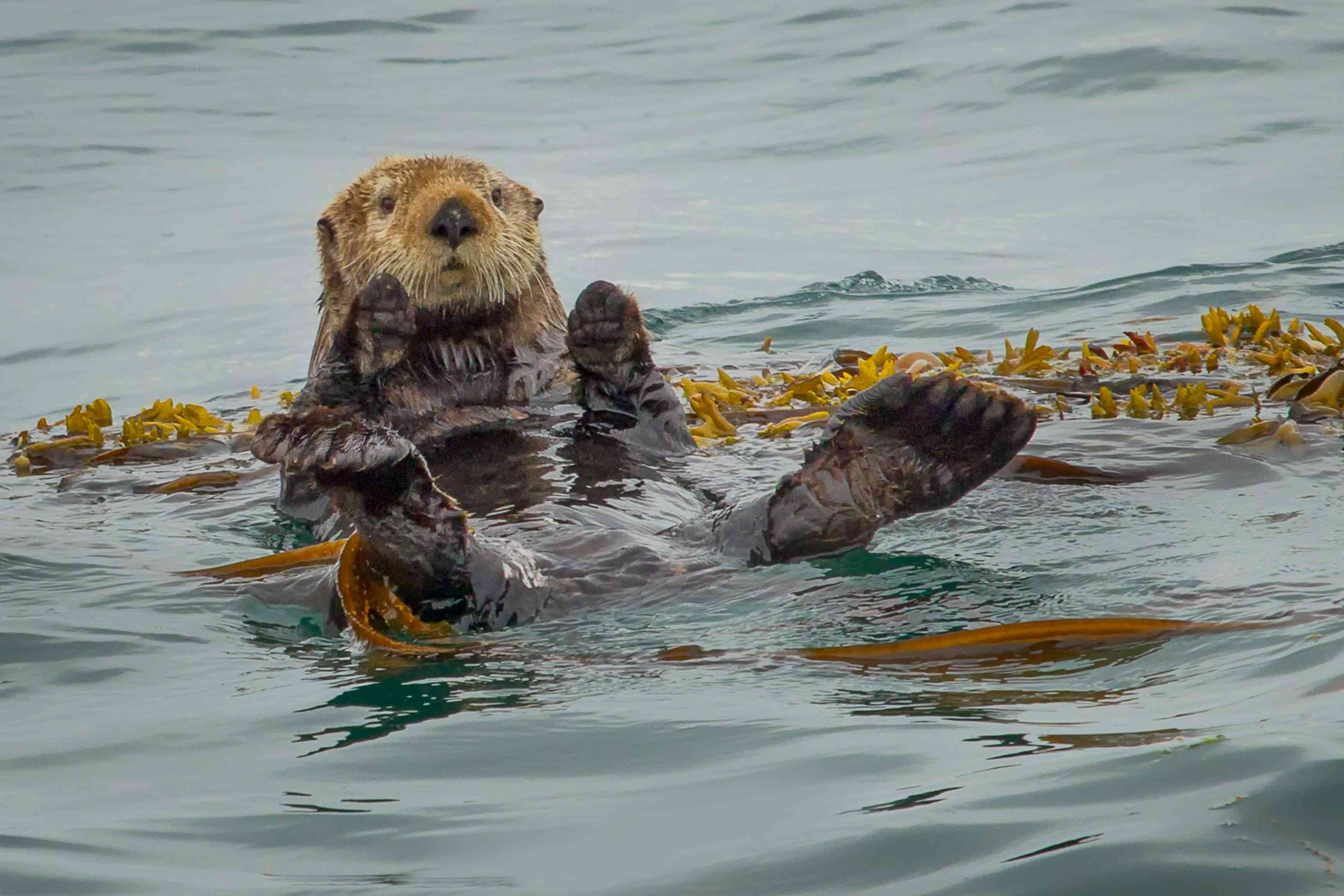 Sea otters are just one of the many mammal species who live in Glacier Bay
