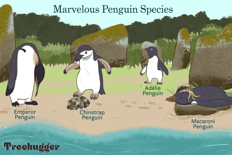 marvelous penguins species, four types on edge of water illustration