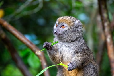 Bamboo lemur sitting up with grass in its hands