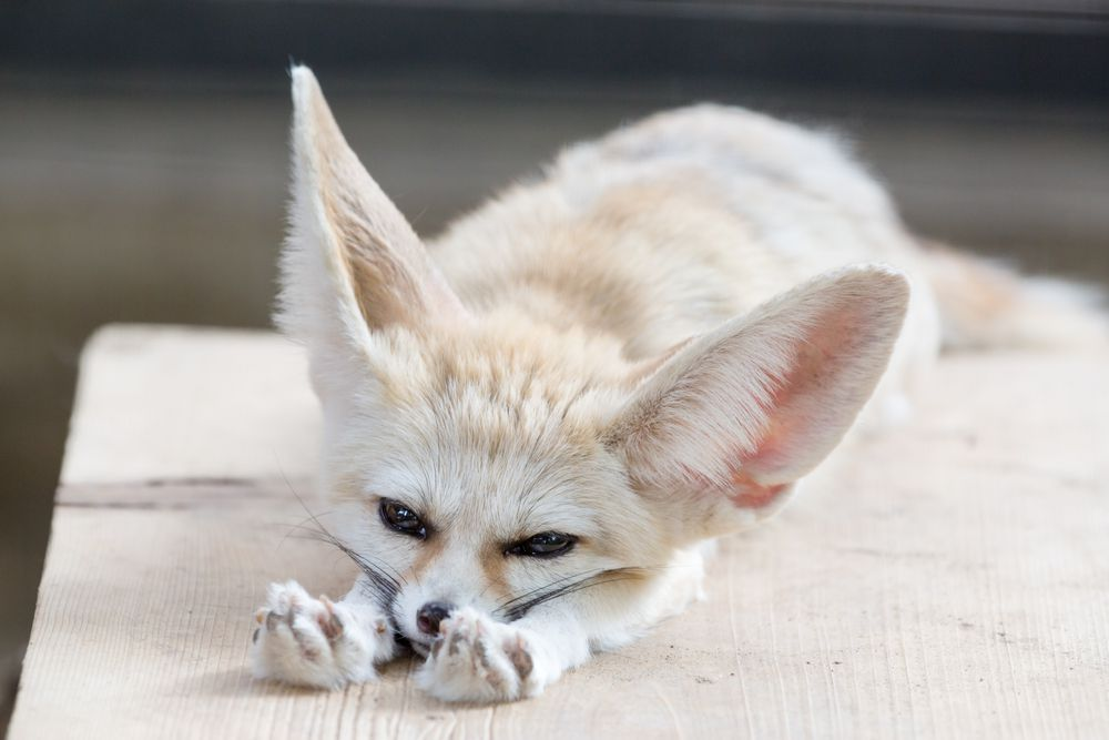 The fennec fox's paws are covered in thick fur to protect it from hot sand.