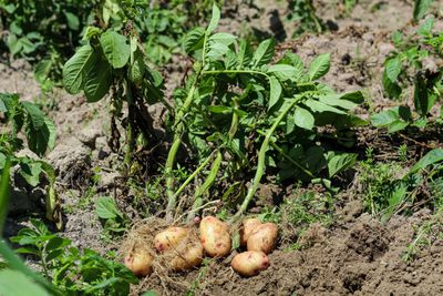 brown potatoes in ground attached to stems, about to be harvested