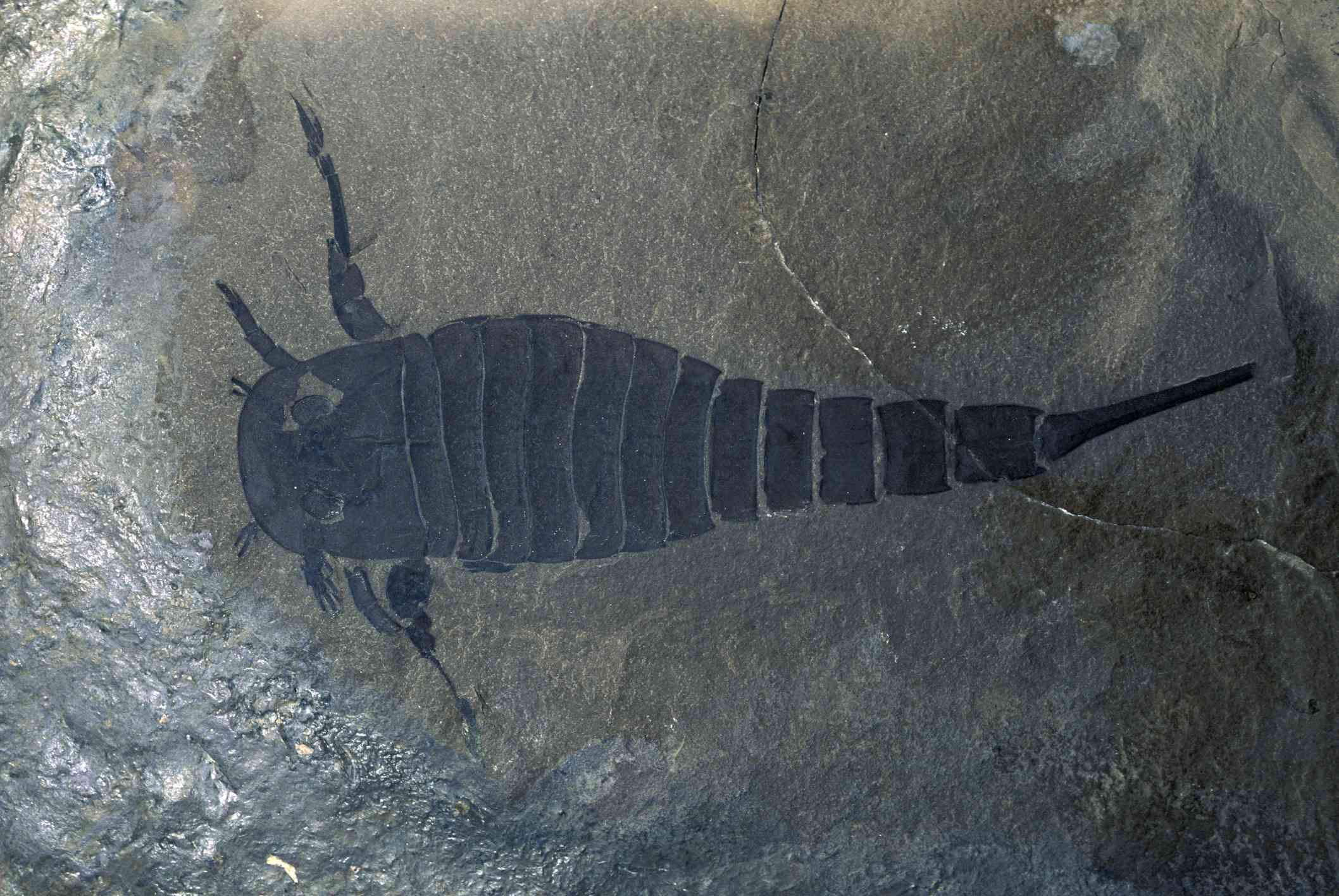 A fossil of a Eurypterid, or sea scorpion, from the Silurian Period.
