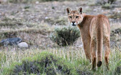 Puma in Patagonia