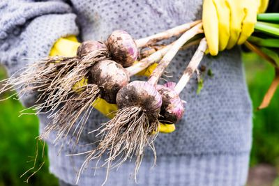 Woman picking fresh organic raw garlic in the garden, selective focus. Outdoors. Harvesting time. Farm or country life.