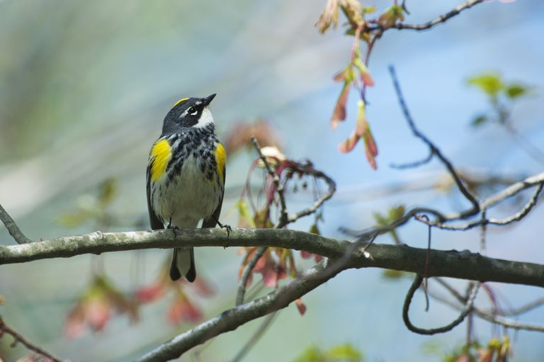 Yellow-rumped warbler in spring red maple woods