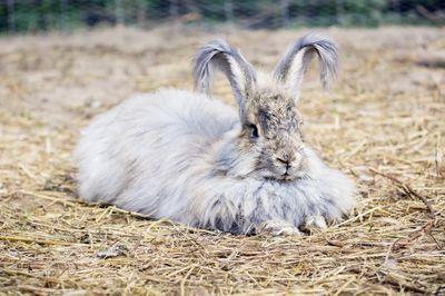 Angora rabbit lying on straw