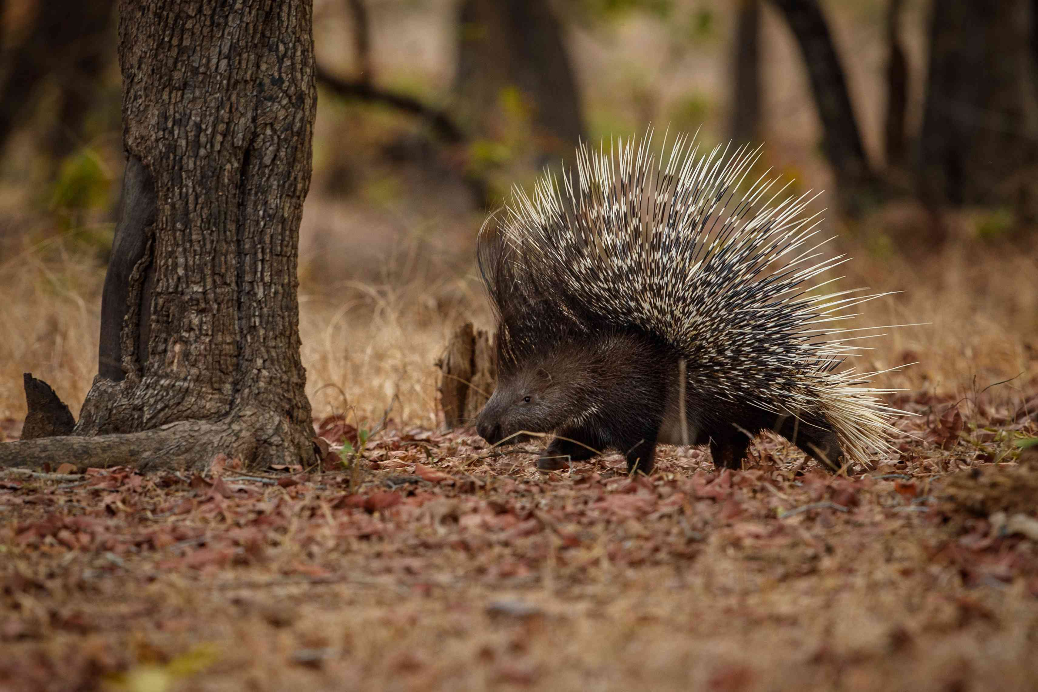 Indian porcupine walking in forest