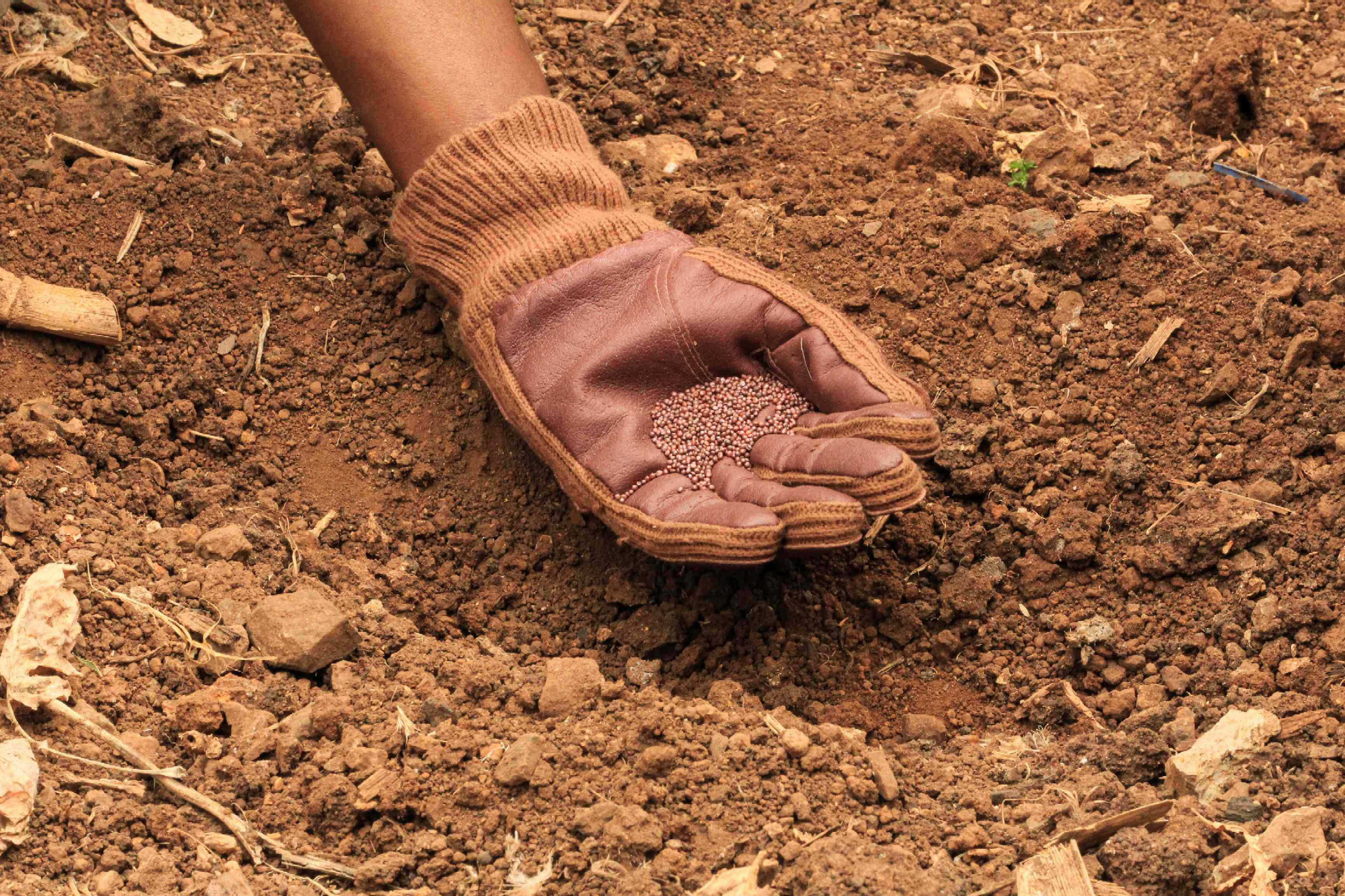 leather-lined gardening glove holds cabbage seeds in palm before planting in soil