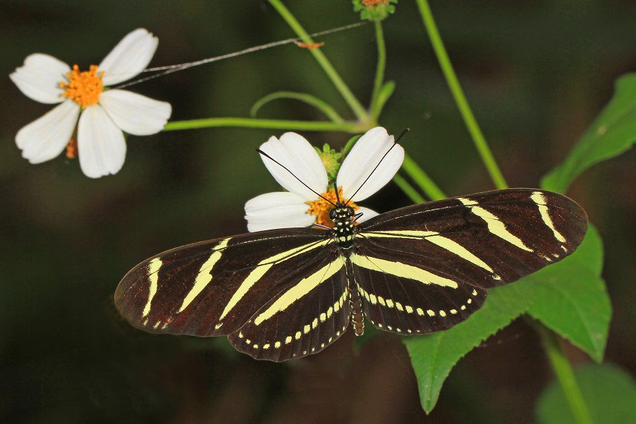 A brown and yellow striped zebra longwing butterfly on a white daisy plant