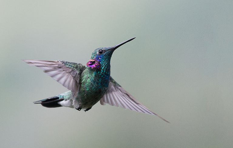 a green bodied hummingbird with bright violet ear feathers and grey wings
