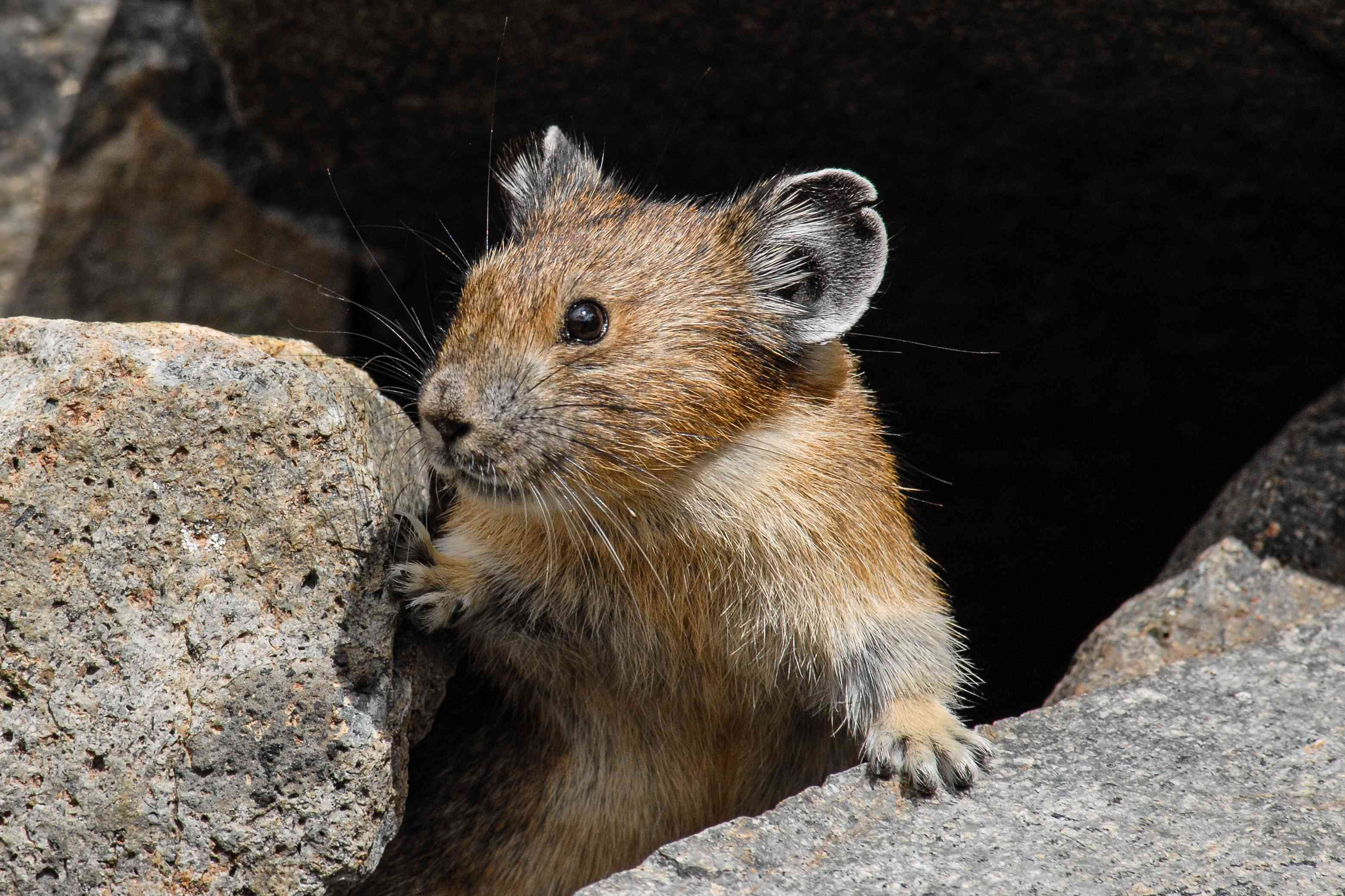 Pika Looking out from its Burrow