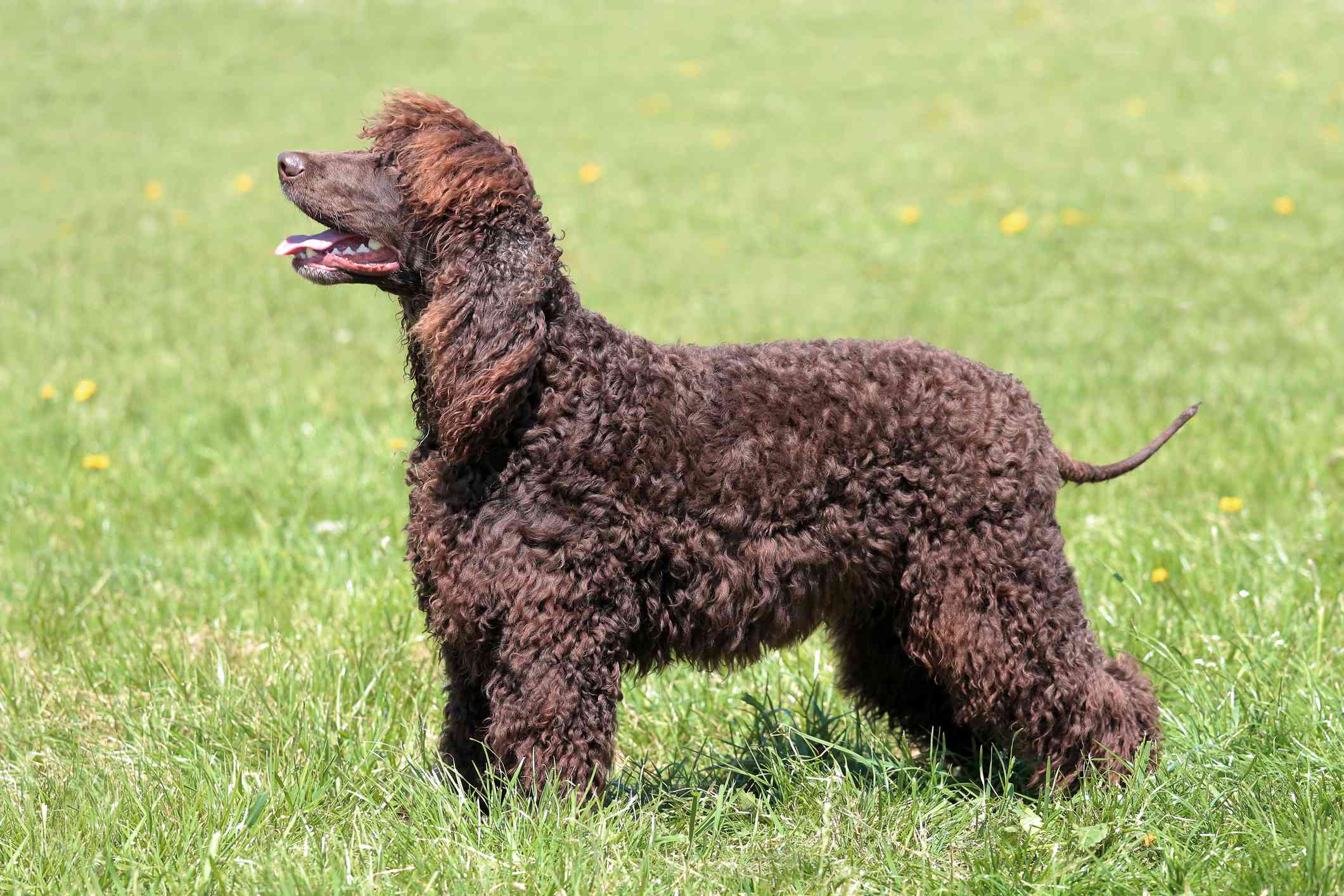 Side view of brown Irish water spaniel standing in green grass