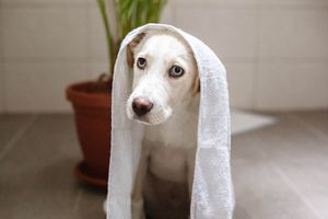 clean puppy with blue eyes poses in bathroom with towel wrap