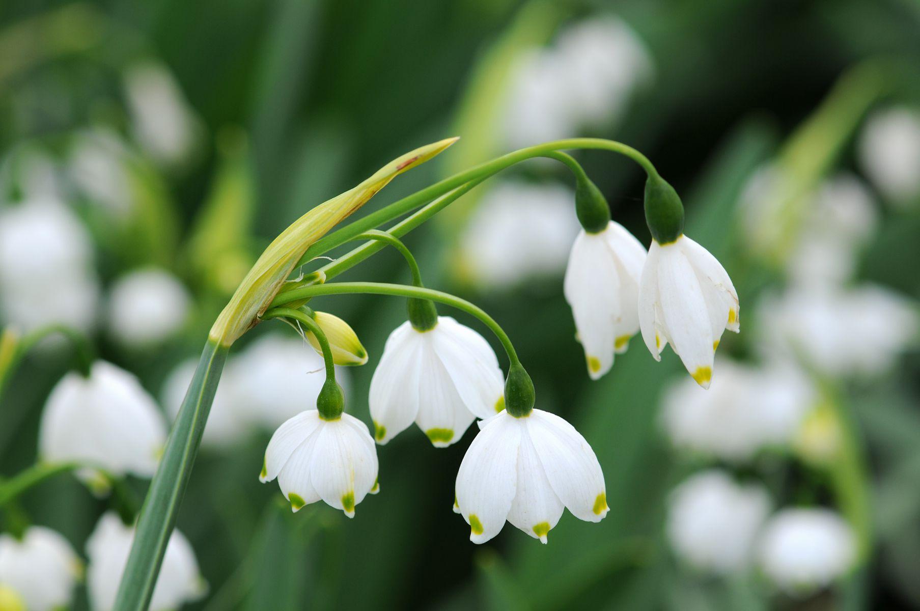 White leucojum flowers hanging from stem