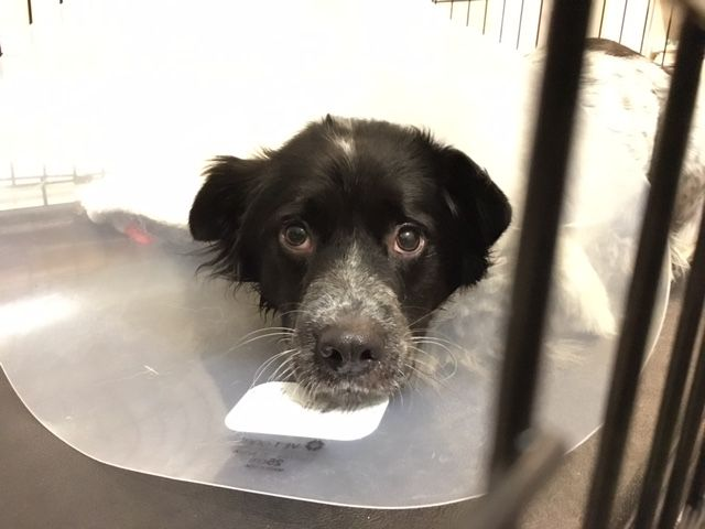 Fitz wearing the cone after surgery