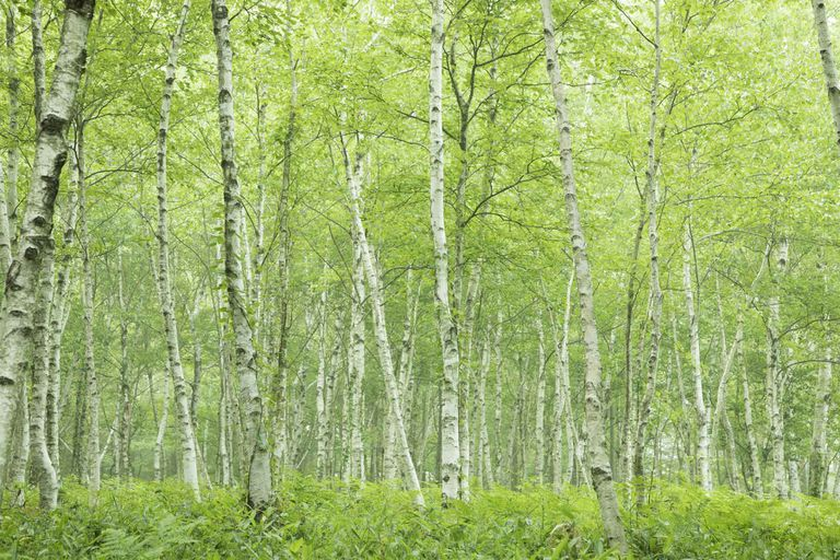 Birch trees in the forest.