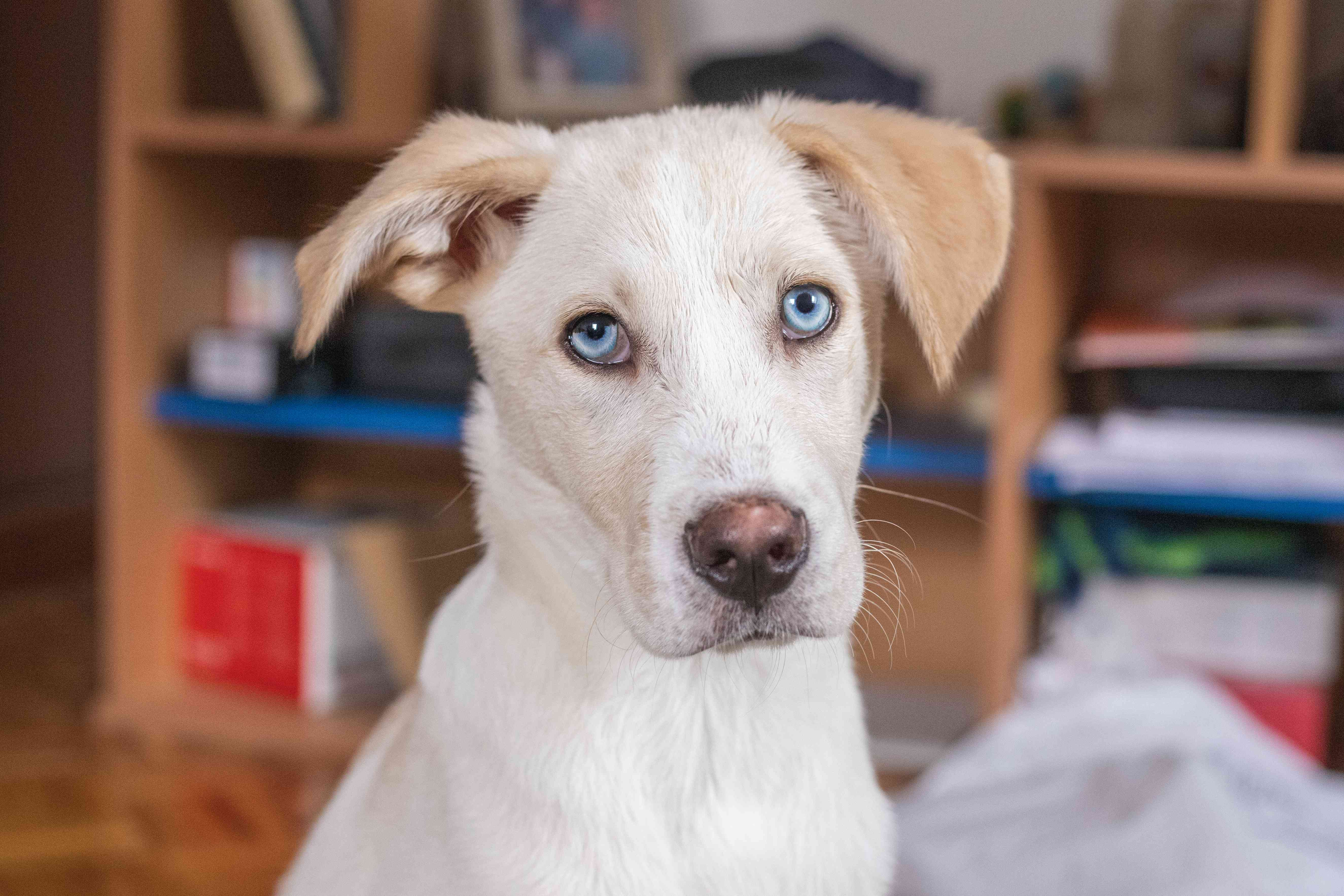 white dog with blue eyes stares at camera inside house