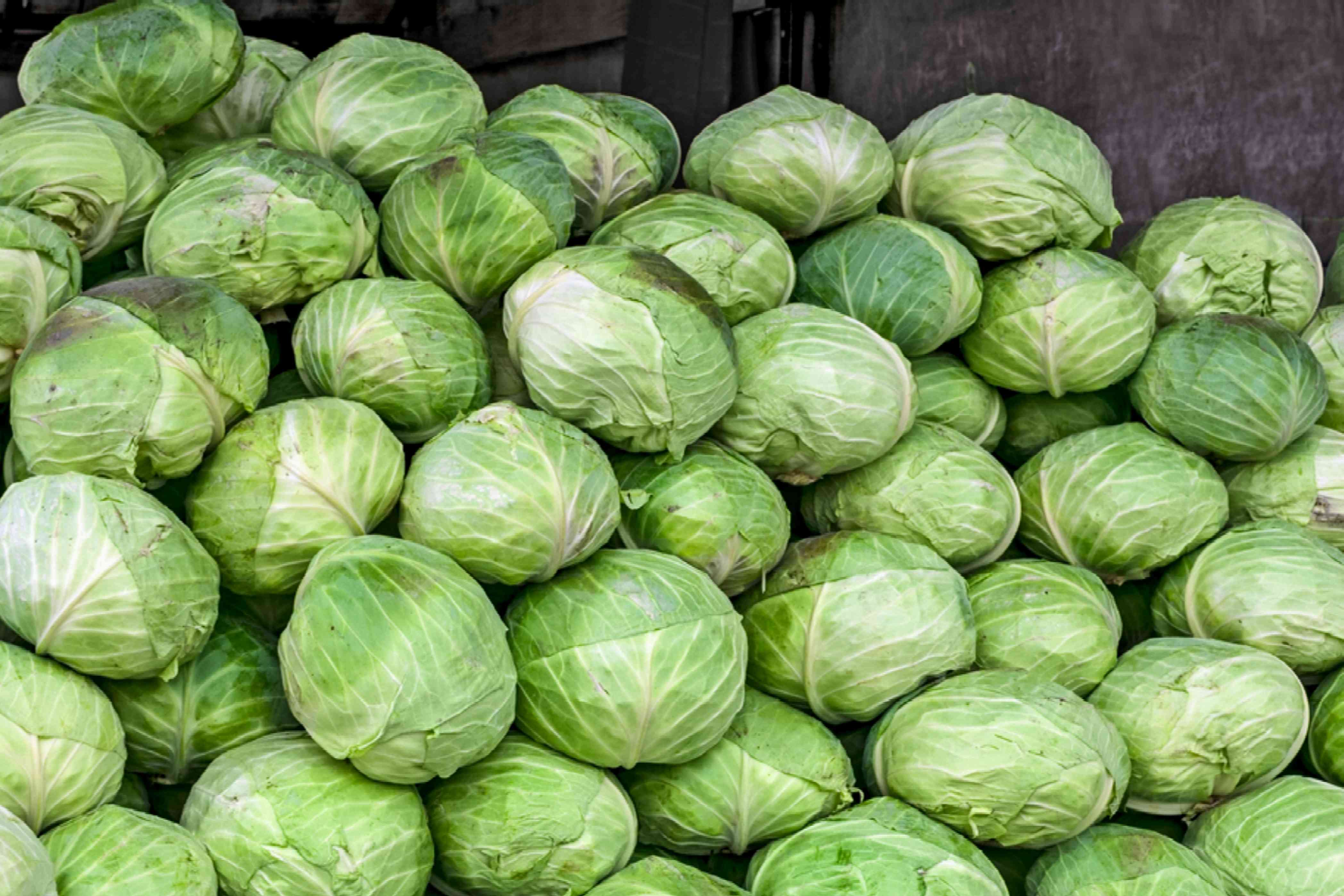 stacks of green cabbage heads freshly harvested and ready for storage