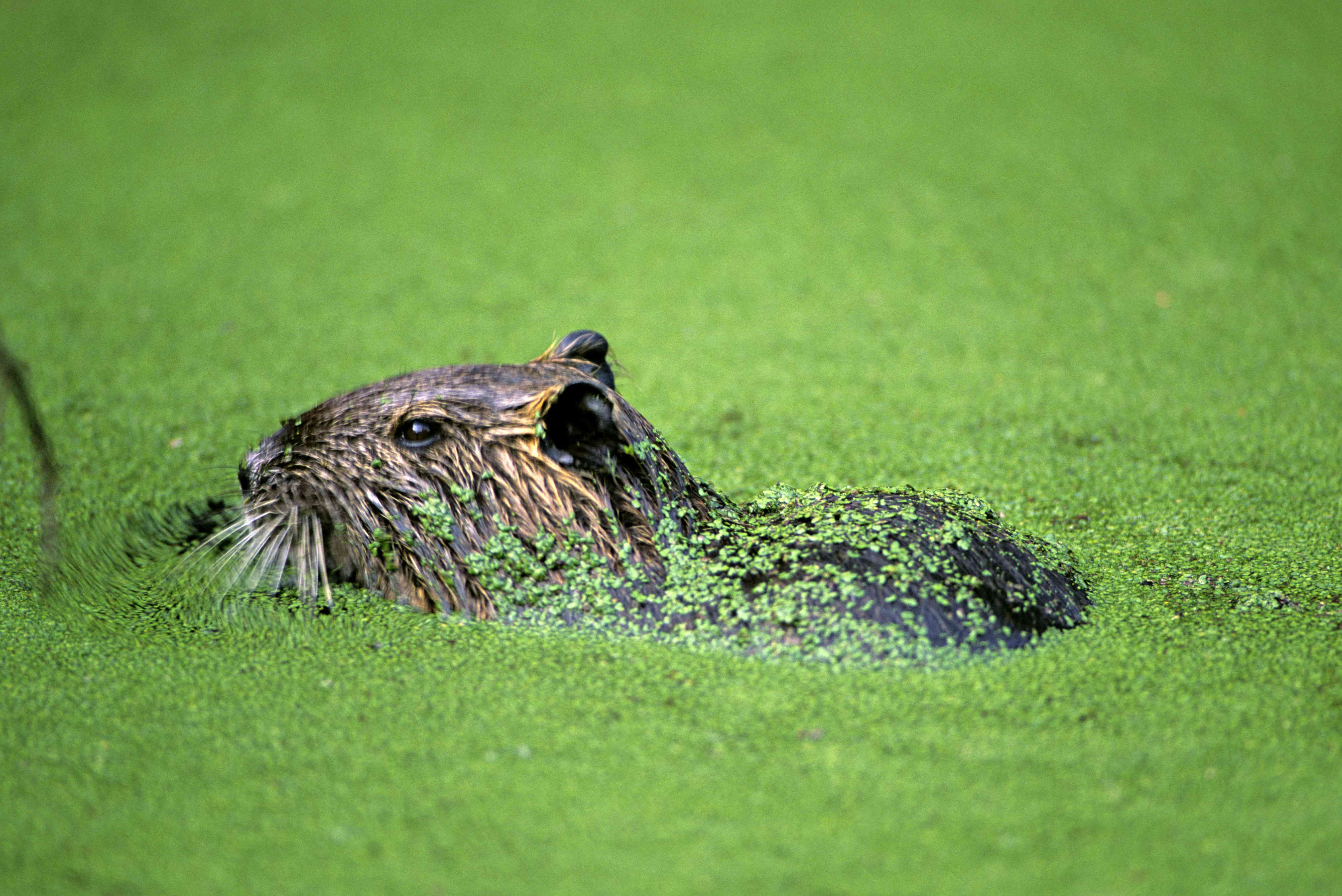 Nutria or Coypu, Myocastor coypus, in swamp, Louisiana, USA. Introduced from South America