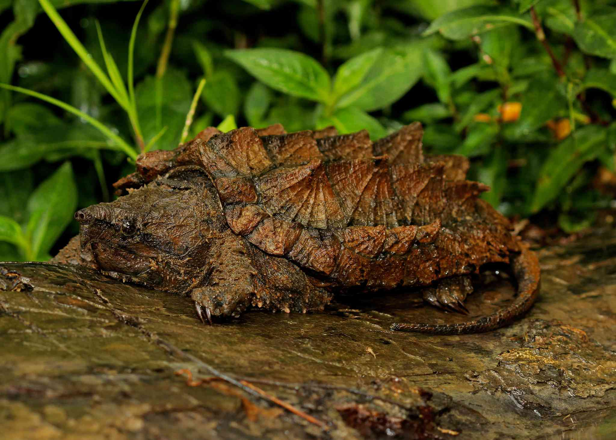 Alligator snapping turtle sitting on a rock