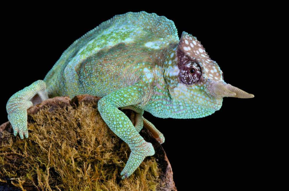 Cameroon sailfin chameleon on a branch at night