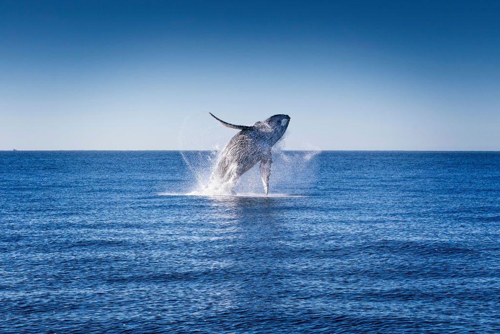 A humpback whale launching itself from the water.