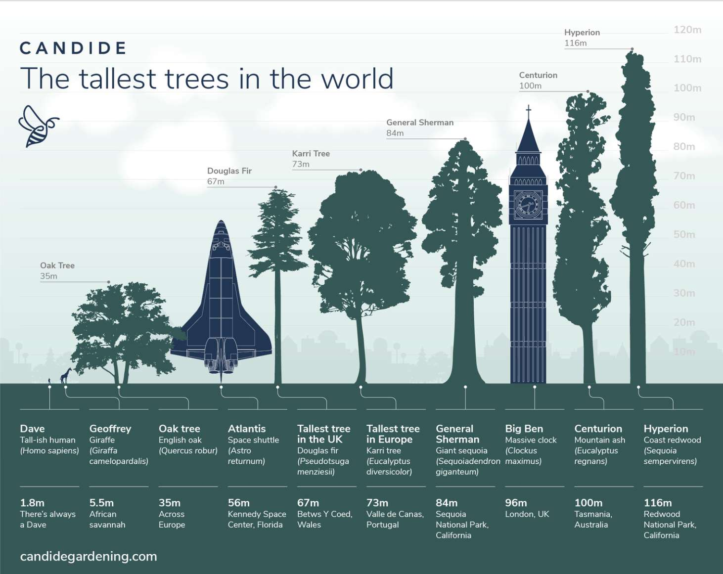 chart showing tallest trees on earth