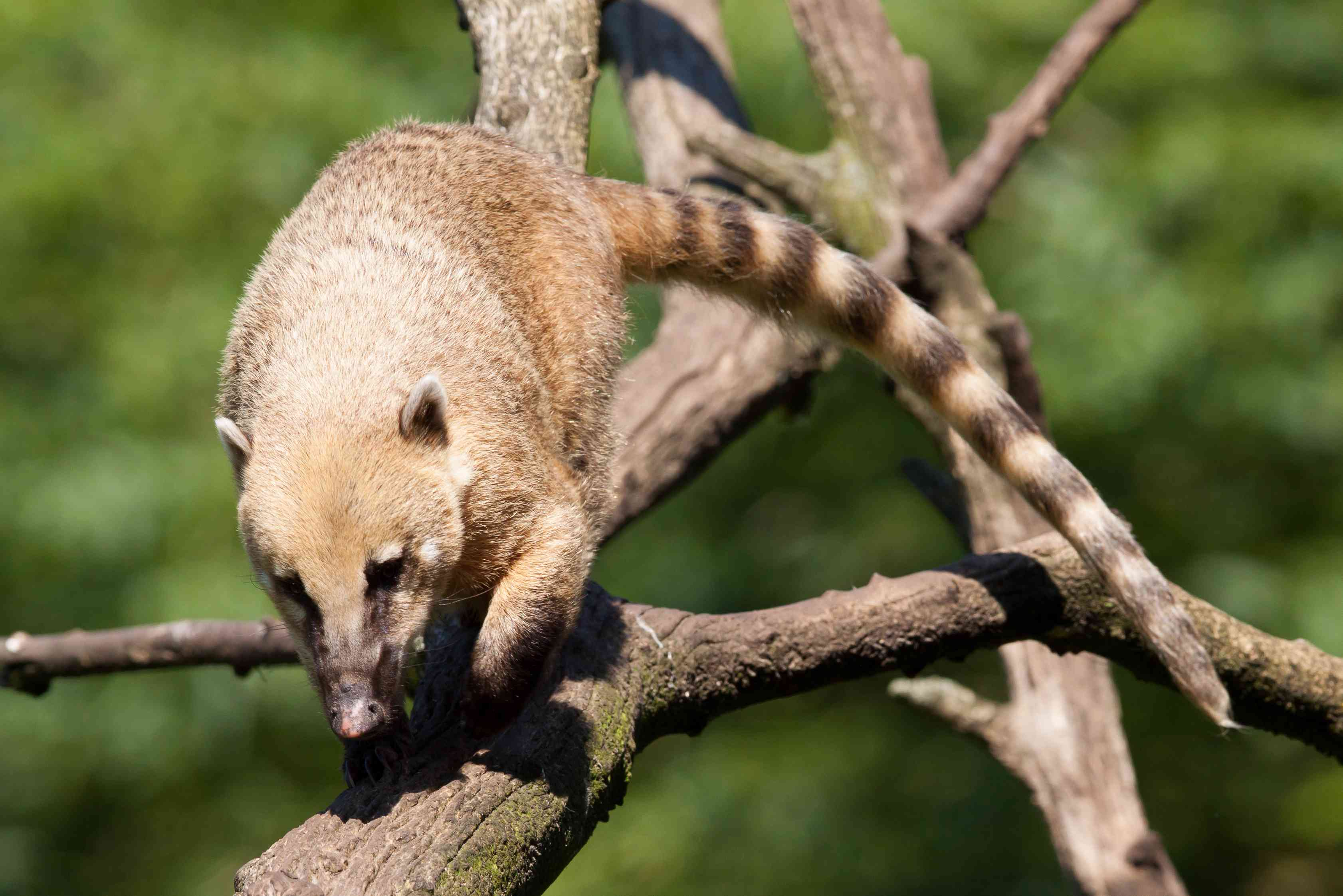 A ring tailed coati climbing down a tree
