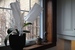 Milk bags drying on top of an orchid plant in a windowsill