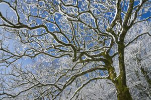 Tree with snow on branches against a blue sky.
