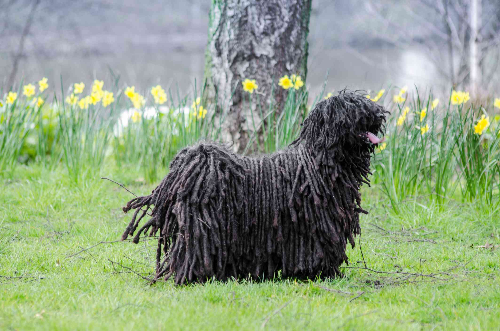 Puli Standing On Grassy Field