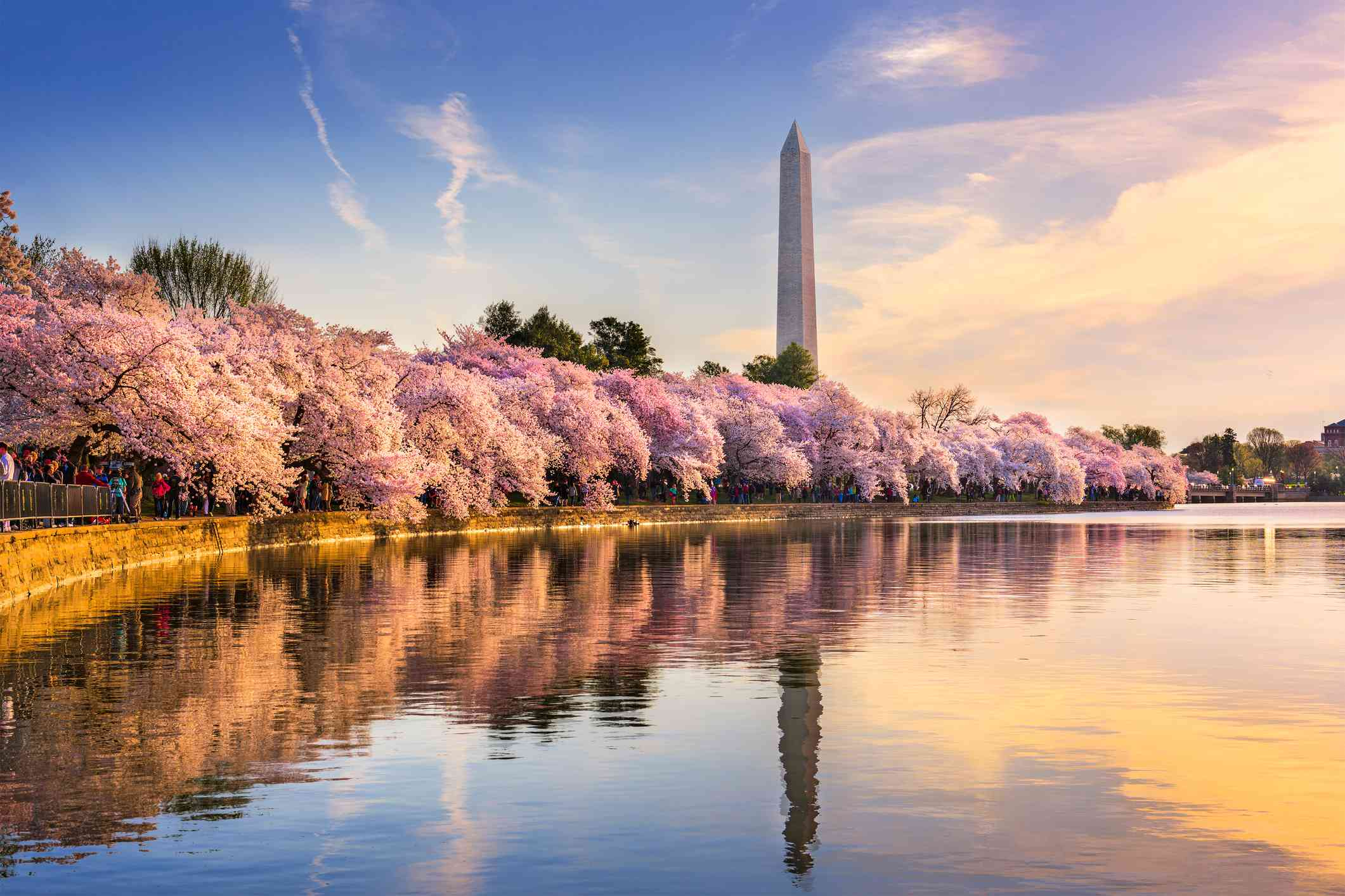 Cherry blossom trees in full bloom along the water with the Washington Monument in the distance under a blue sky