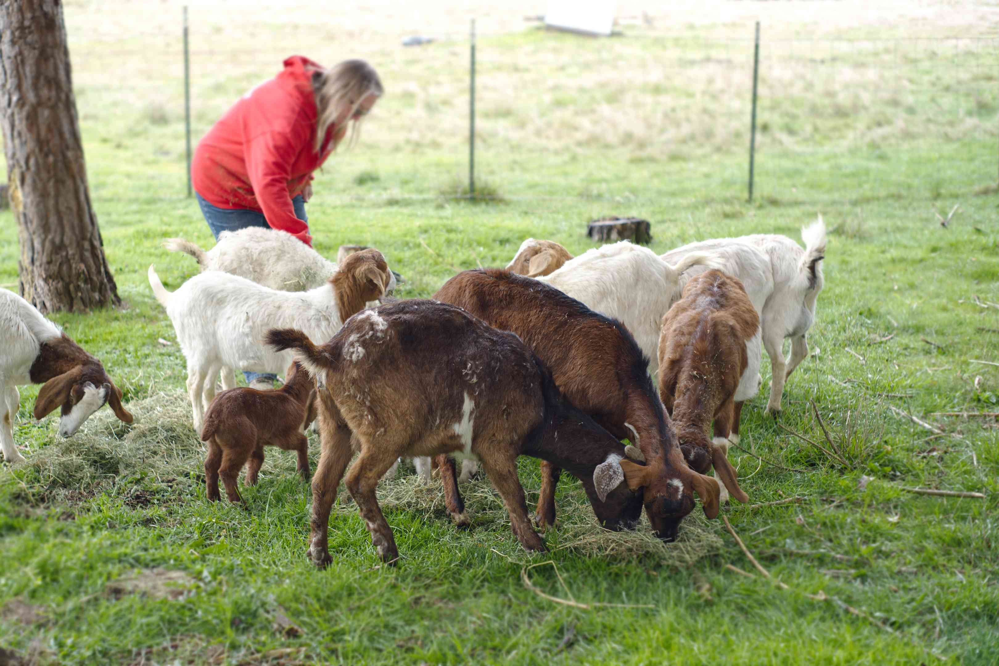 farmer in field attends to group of adult and baby goats eating hay in green grass