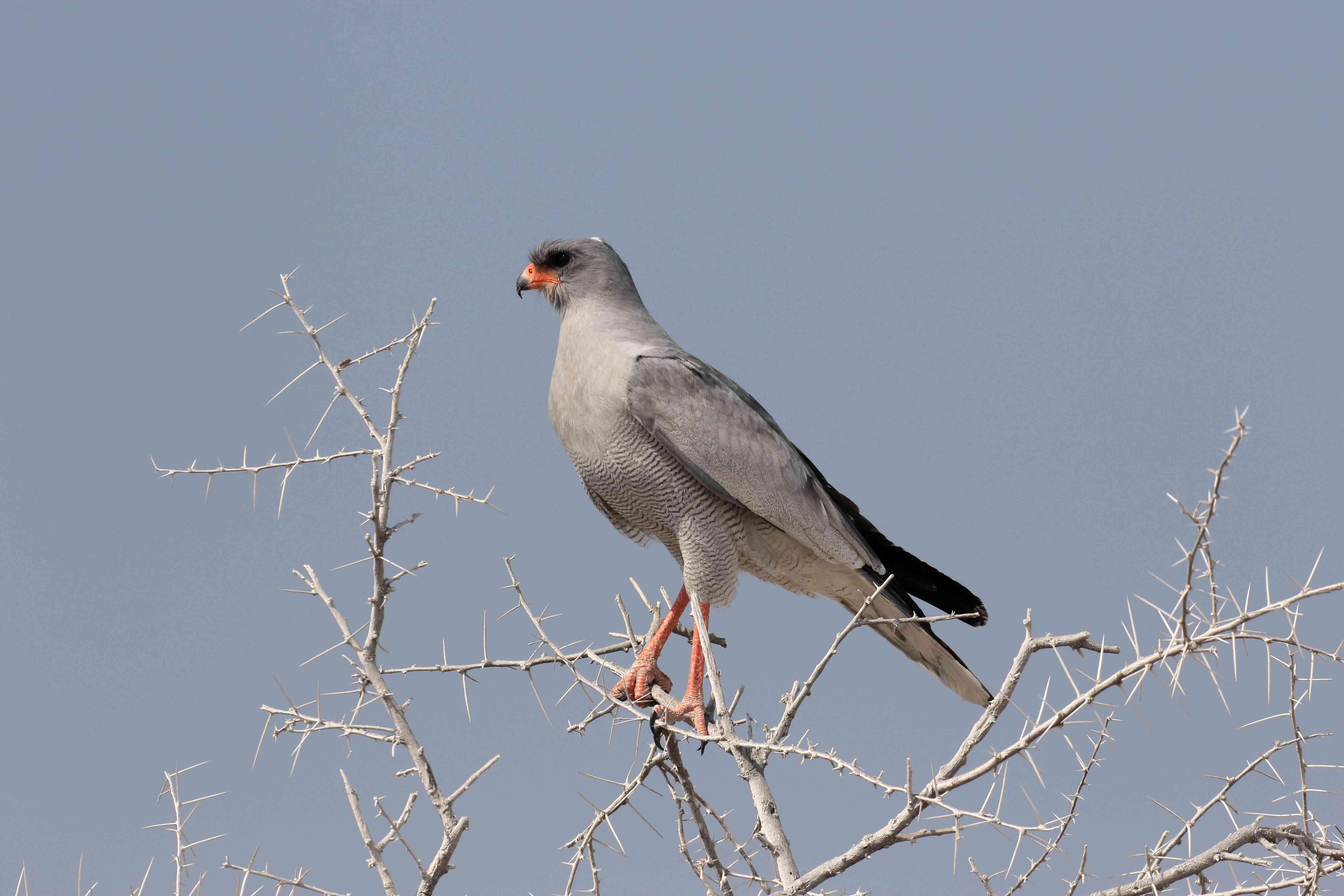 Pale chanting-goshawk, Melierax canorus