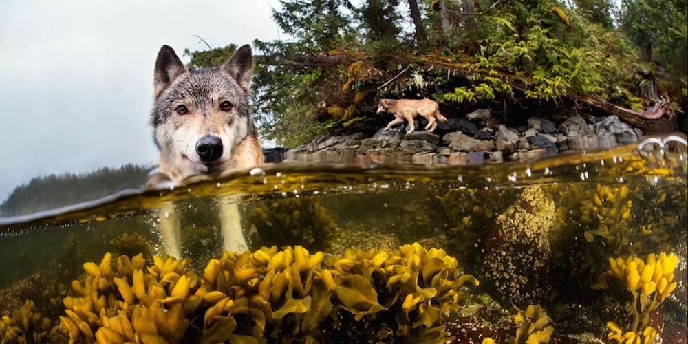 A wolf swimming in the sea.