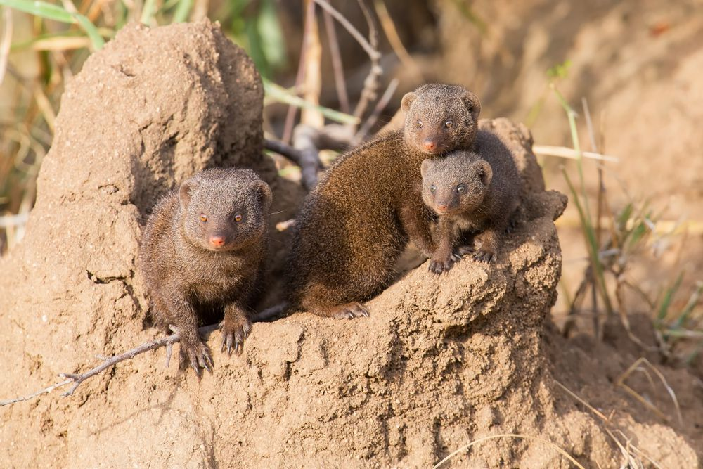 A dwarf mongoose family of three snuggled together just outside of their sand burrow.