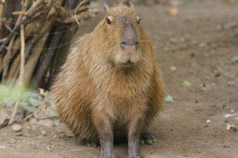 worlds largest rodent capybara photo
